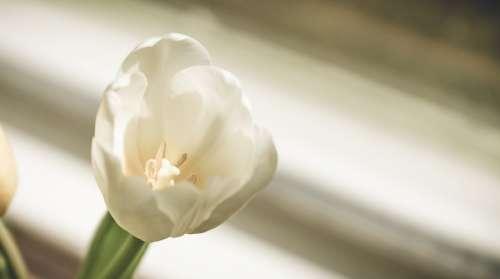 Single White Tulip Photo