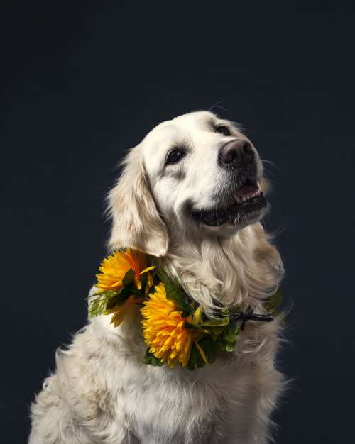 Soft Retriever Dog With Flowers Photo