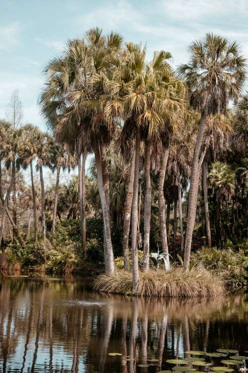 Towering Palm Trees And Lily Pads Surround Florida Pond Photo