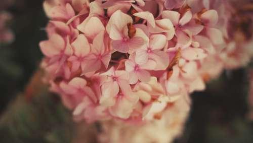 hortensia flowers garden spring summer