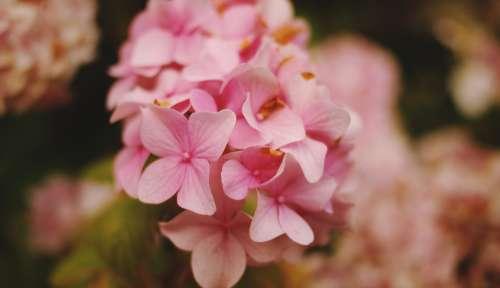 hortensia pink flowers nature garden