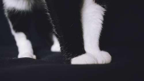 cat pows pet animal black and white