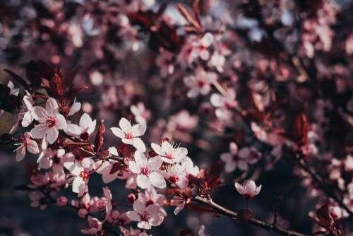 Cherry tree blossom 2