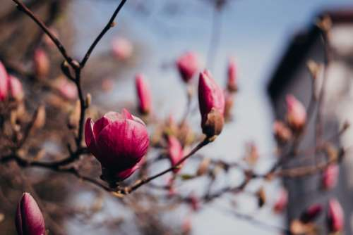 Magnolia tree blossom closeup