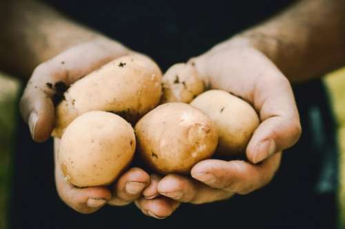 Farmers hands with freshly harvested vegetables. Fresh bio potatoes