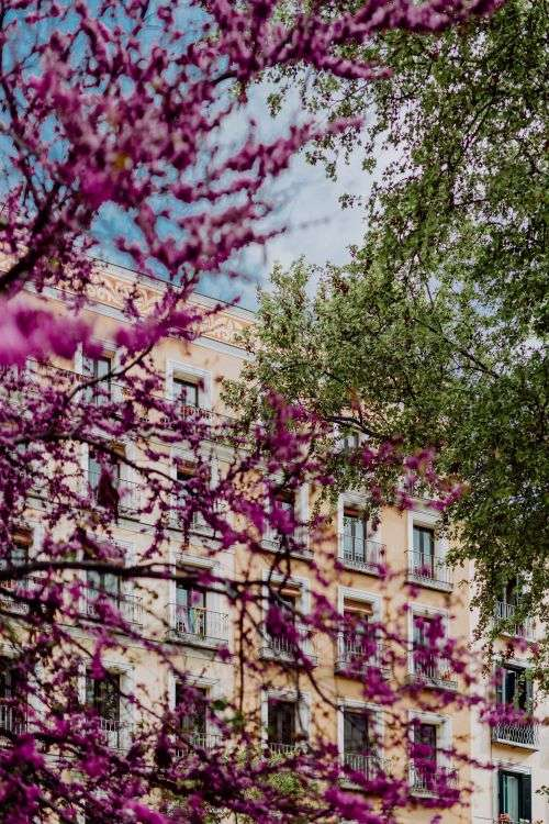 Judas trees in blossom at springtime in Madrid, Spain
