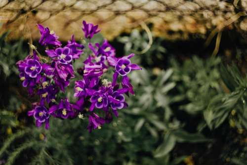 Beautiful dark purple wild Aquilegia vulgaris flowers