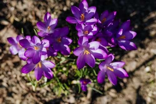 Purple crocuses blooming in spring