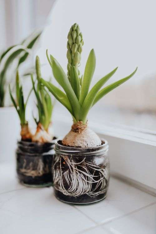 Hyacinths and Muscari planted in jars