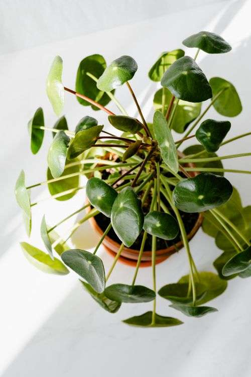Pilea peperomioides, money plant