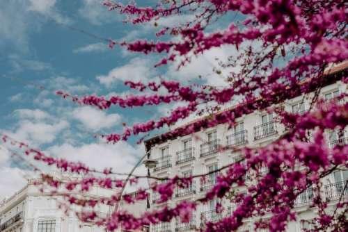 Judas trees in blossom at springtime in Madrid, Spain