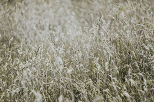 Silver grass field