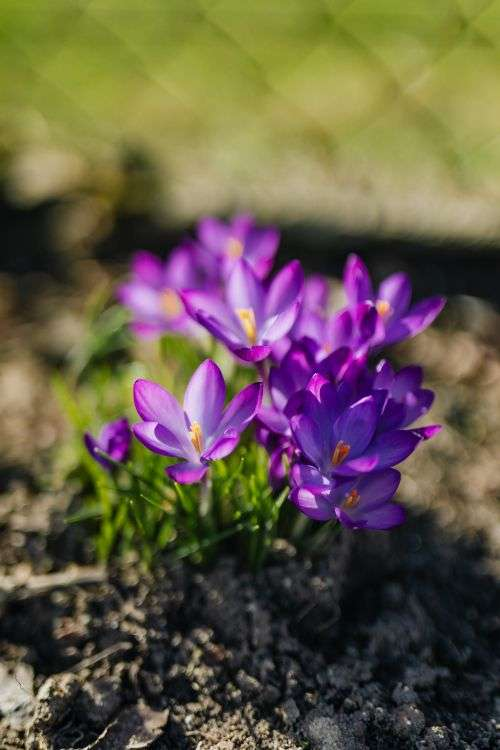 Purple crocuses blooming in spring
