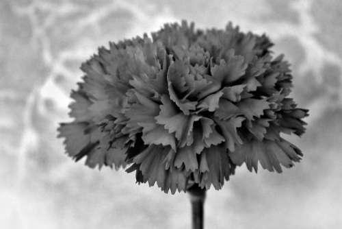 flora plant flower carnation clove