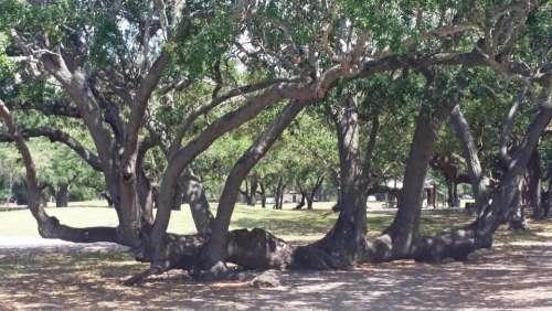 Tree live oak Trunk unusual Florida