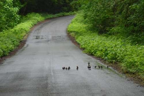 ducks duck ducklings babies wildlife