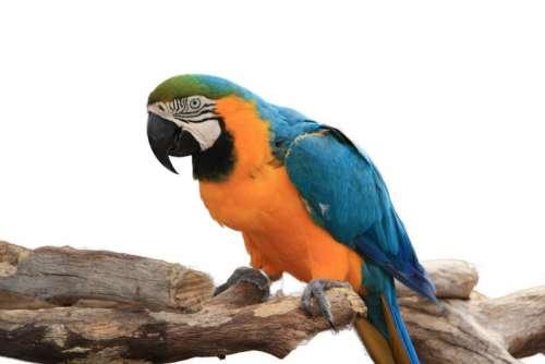 Macaw bird large Blue Yellow