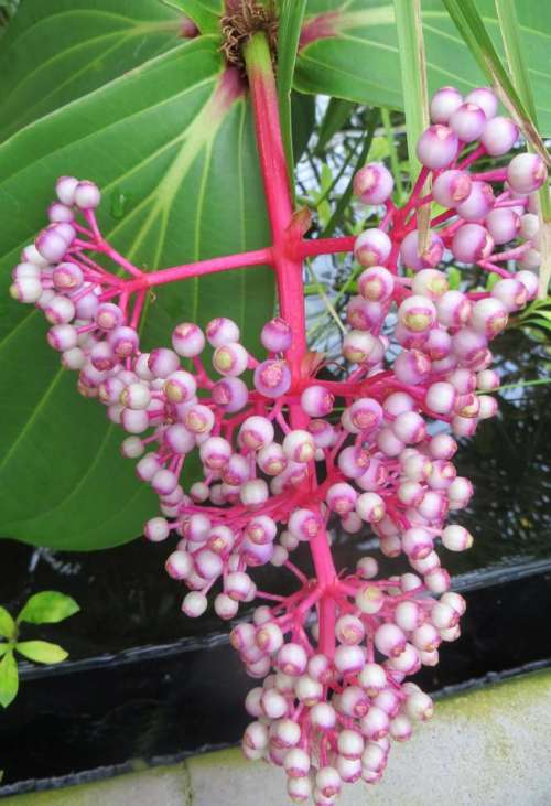 pink berries plant nature