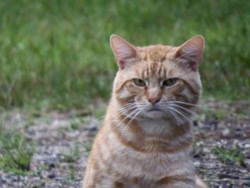 orange tabby cat feline pet animal