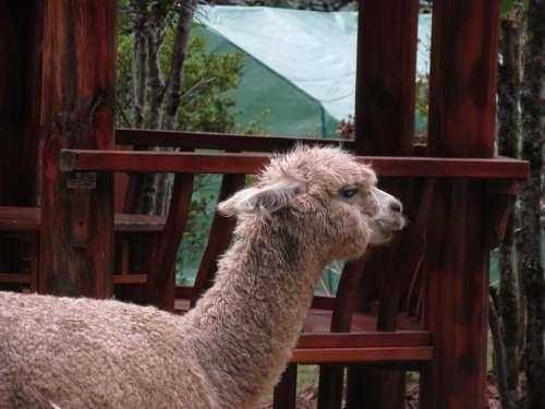 Mammal Llama Vertebrate Alpaca Camelid