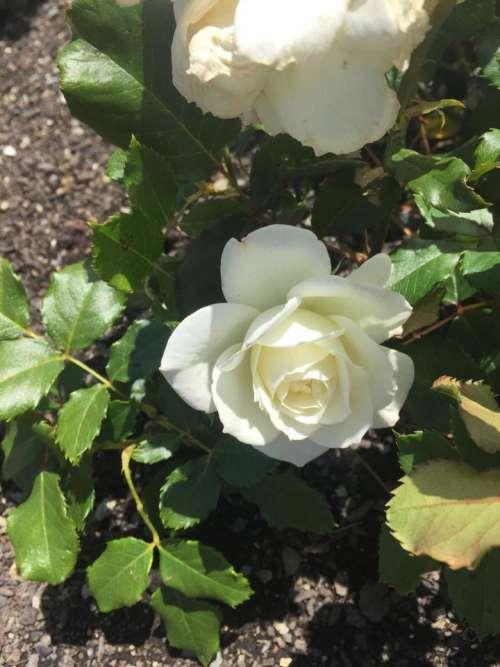 rose flower white