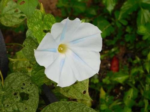 white moonflower morning glory vine flower