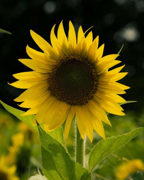 Sunflower garden flower