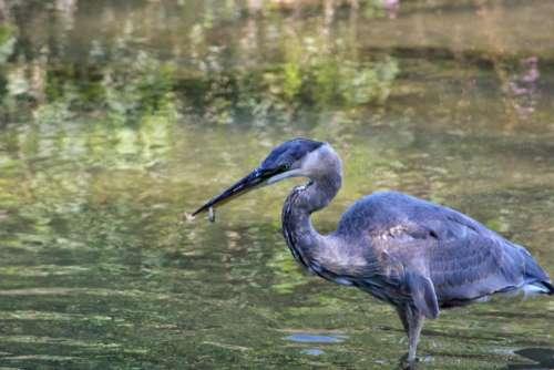 animal bird heron great blue