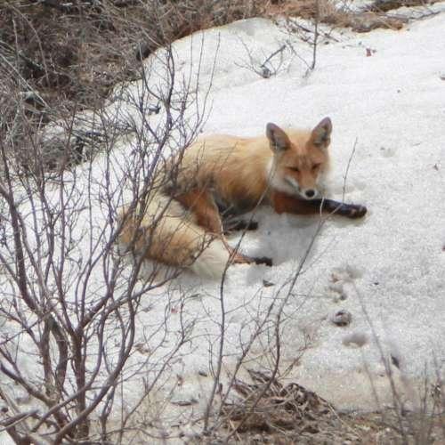 Red Fox canine wild animal