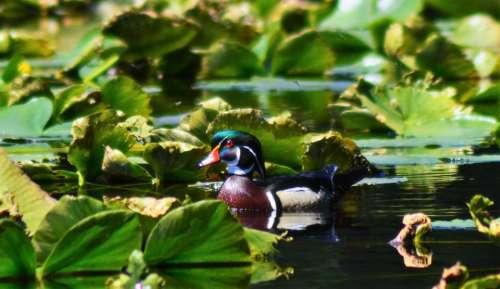 wood duck foul bird duck