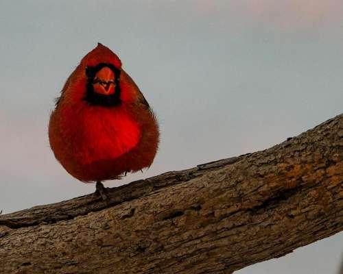 male Cardinal red bird wild