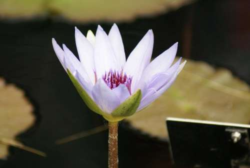 #water lily #lilies #flower #Lotus #white