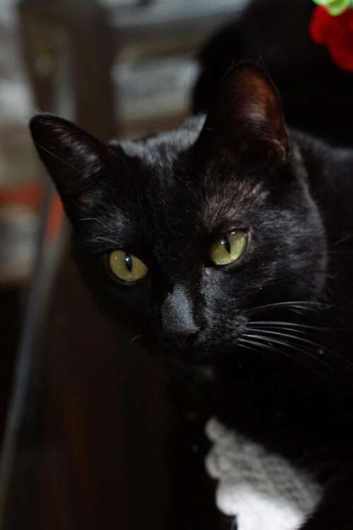 Black Cat black cat eyes pets