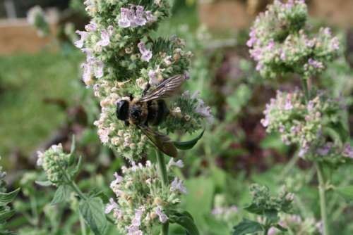 bee on catnip catnip herb bee insects