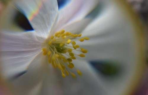 wood anemone  glass sphere flower spring spring flower petals