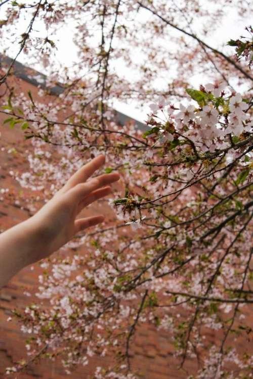 flower spring cherry blossoms reaching hand