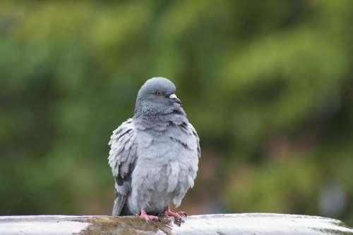 Pigeon Bird Fountain Puffy Puffed