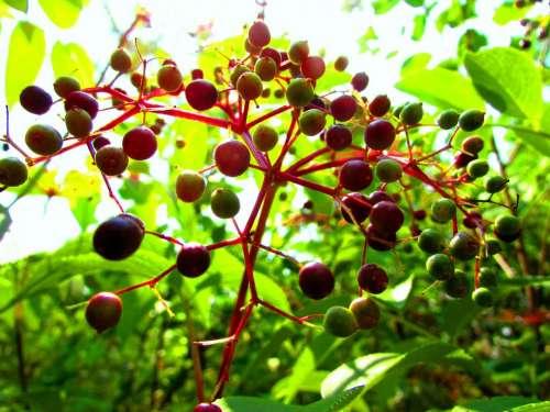 Berry berries naturr