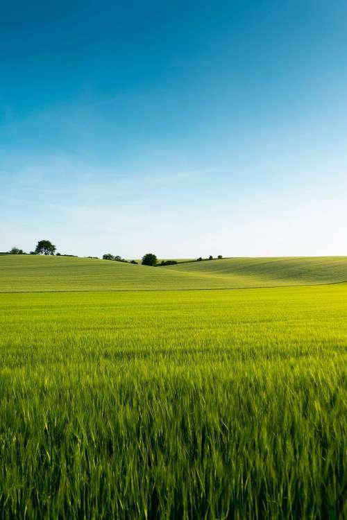 Beautiful Green Wheat Field Free Photo