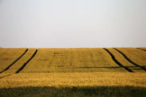 Agriculture Wheat Field Plant Landscape Rural