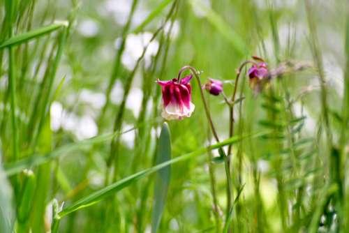 Akelei Flower Pink Flora Nature