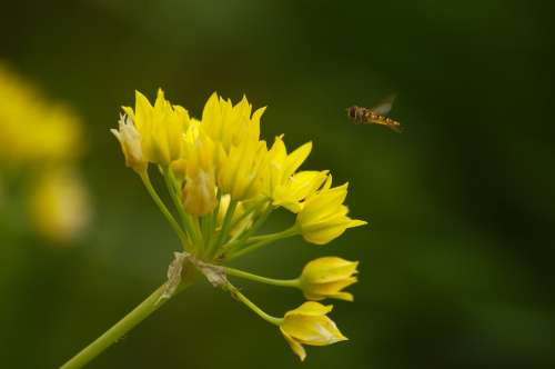Allium Moly Hoverfly Yellow Amaryllidaceae Plant