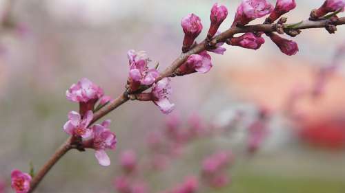Almond Flower Bush Pink Pink Flowers Blossom