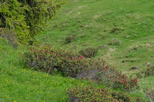 Alprose Alpine Flora Almrose Mountain Meadow