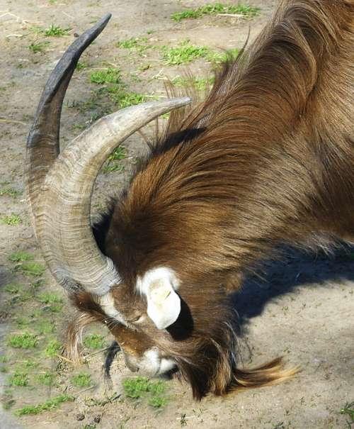 Animal Billy Goat Horns Creature Goatee Horned