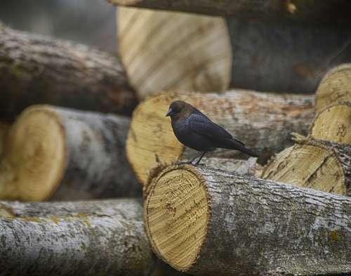 Animal Bird Nature Close Up Brown-Headed Cowbird