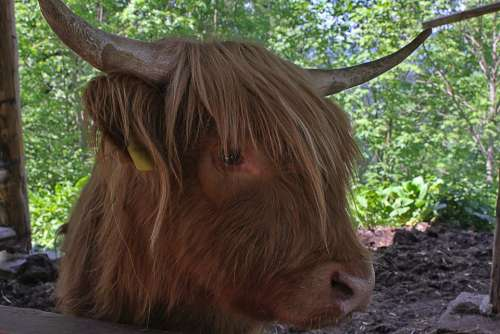 Animal Portrait Horn Farm Ruminants