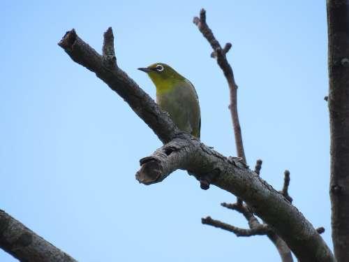 Animal Wild Birds Little Bird Japanese White-Eye