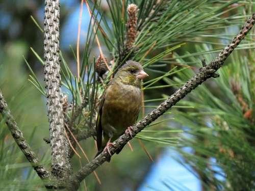 Animal Bird Wild Birds Greenfinch Forest