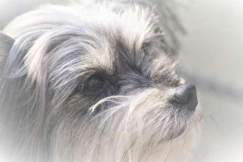 Animal Dog Yorkshire Terrier Portrait Cute Knuffig